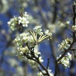 papillon sur arbre en fleurs